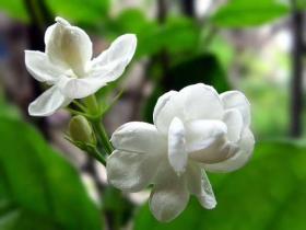 茉莉花茶内没有花是真的吗?