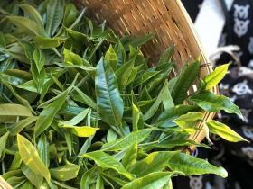 制茶工艺之发酵